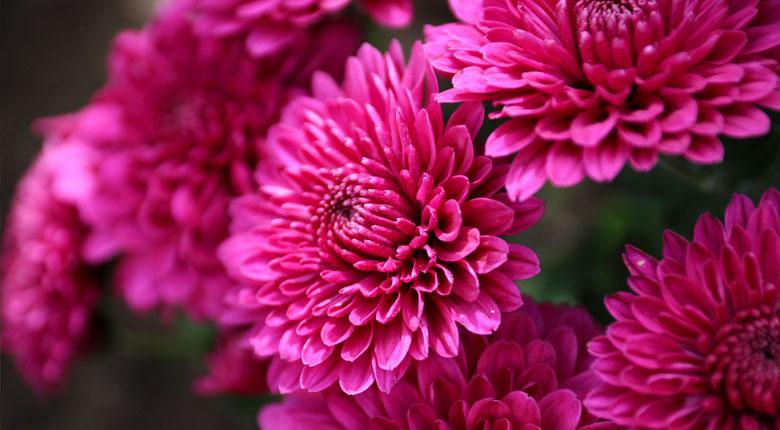 beautiful chrysanthemum flower
