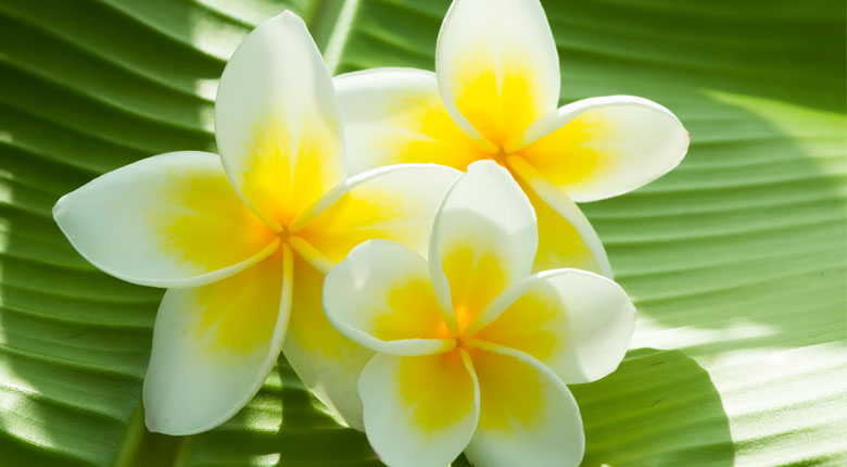 most beautiful plumeria flower
