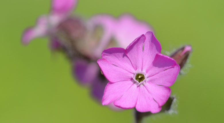 Silene Tomentosa campion flower