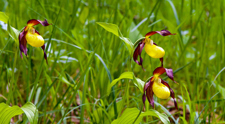 Yellow and Purple Lady Slippers flower