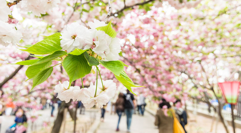 Cherry Blossom Street Tree Tunnel