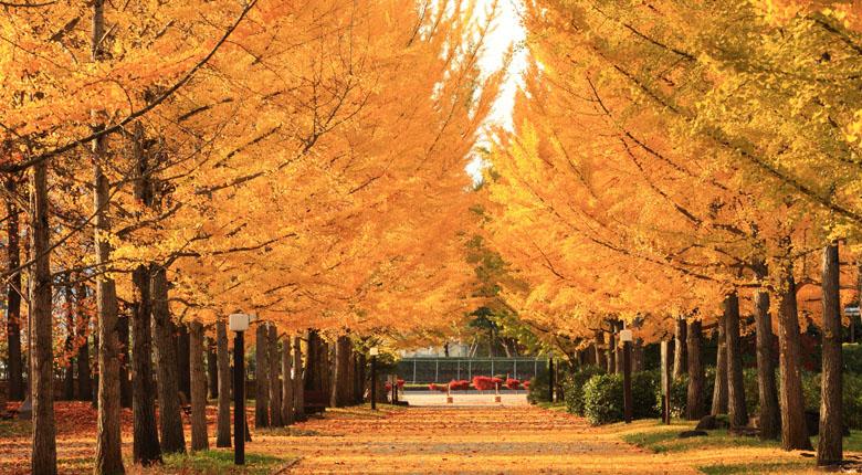 beautiful ginkgo tree tunnel