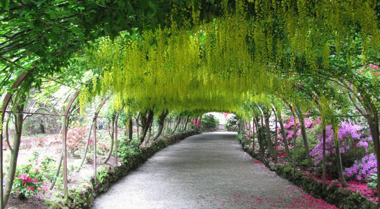 Labnurnum Tree tunnel