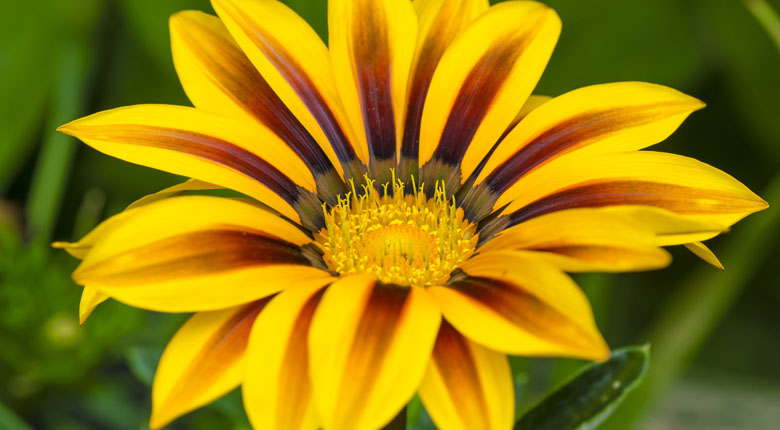 yellow gazania flower close up