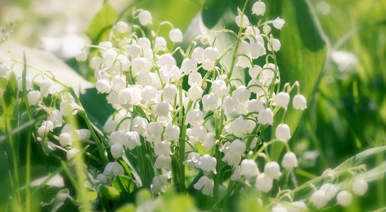 White Lilly of the valley flowers